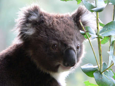 animal pouch: koala Stock Photo