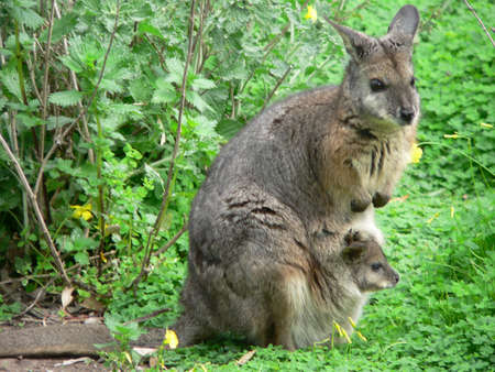 tammar wallaby and joey Stock Photo