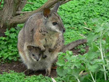 joey: tammar wallaby and joey Stock Photo
