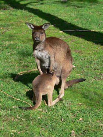 joey: Kangaroo Island Kangaroo and joey