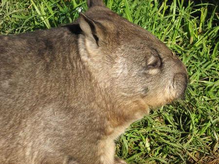wombat: Wombat  Foto de archivo