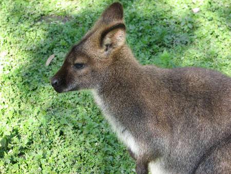 necked: portret van een rode necked wallaby Stockfoto