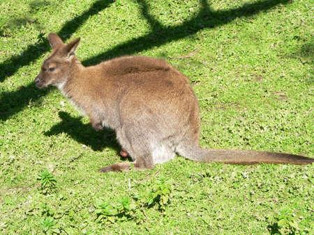necked: rode hals kangoeroe