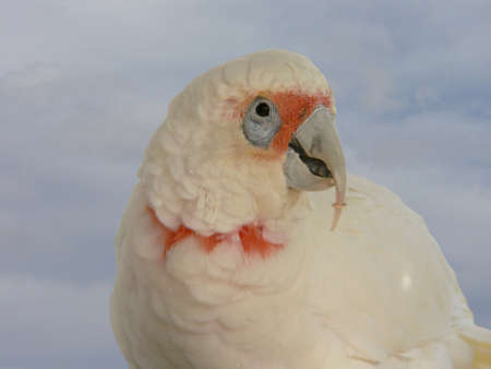 cockatoos: long billed corella Stock Photo
