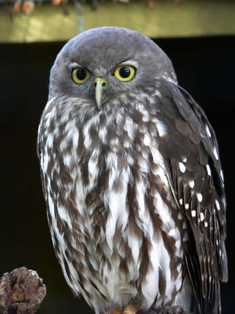 barking owl photo