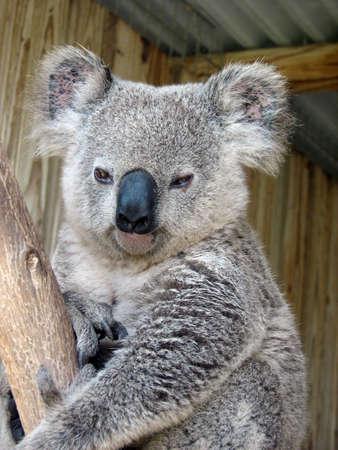 Eastern koala photo