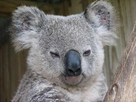 marsupial: koala portrait
