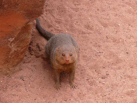 mongoose: mongoose Stock Photo