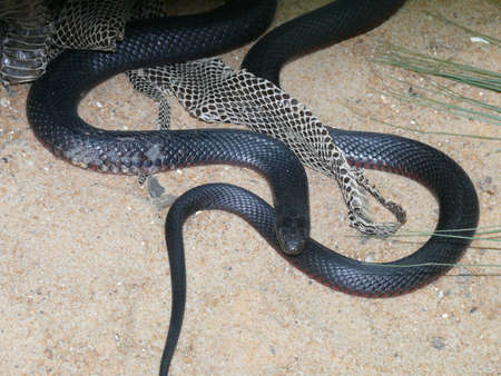 cold blooded: red belllied black snake Stock Photo