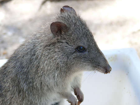critters: potoroo Stock Photo