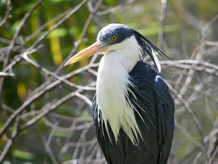 srokaty: pied heron Zdjęcie Seryjne