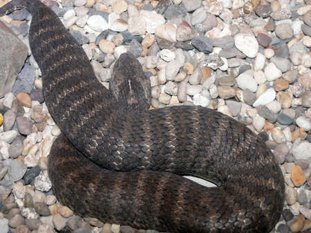 cold blooded: death adder Stock Photo