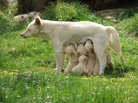pups: dingo pups feeding Stock Photo