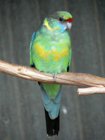 cockatoos: ring neck parrot