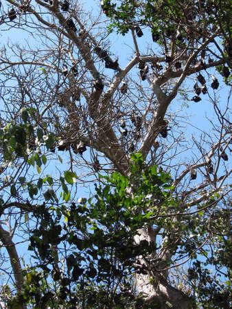 echolocation: bats Stock Photo