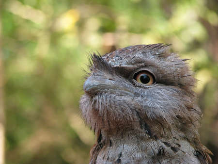 tawny: young tawny frogmouth