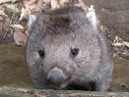 animal pouch: young wombat