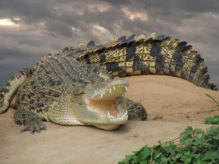 krokodil: Salzwasser Krokodil Lizenzfreie Bilder