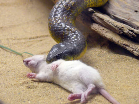 hiss: snake eating a rat