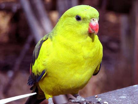 regent: regent parrot