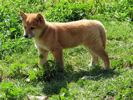 dingo golden pup