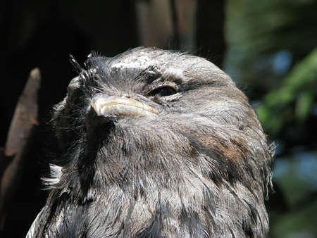 tawny: tawny frogmouth Stock Photo