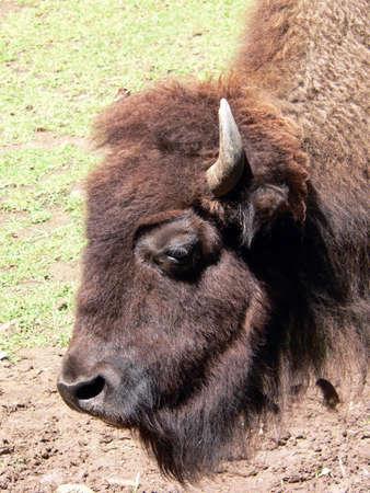 vicious: bison Stock Photo