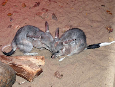species: bilby an endangered species Stock Photo