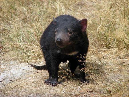 tasmanian: Tasmanian devil Stock Photo