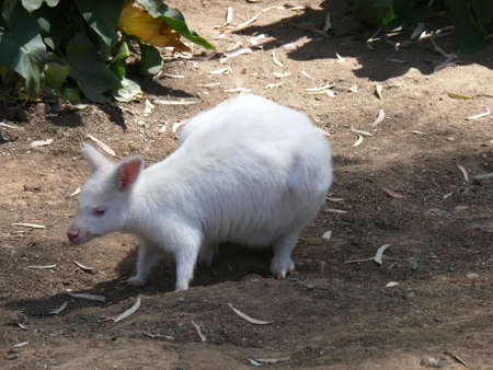 albino: albino wallaby