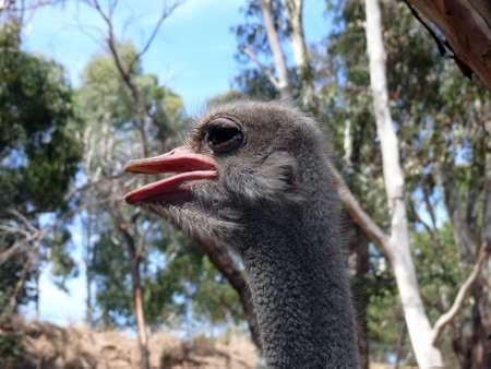 cilia: ostrich