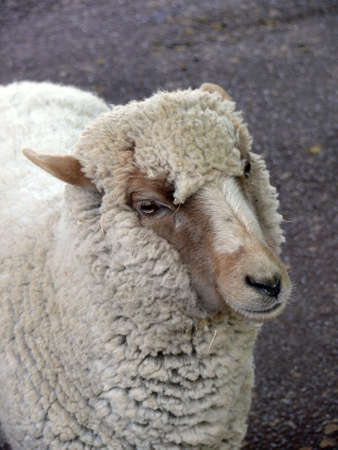 sheep Stock Photo - 4813135