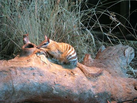 possum: numbat Stock Photo