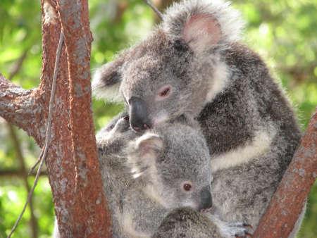 koala & joey