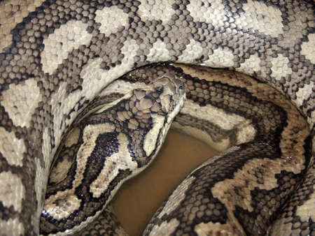hiss: carpet snake