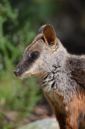 brush tailed: close up of a brush tailed rock wallaby Stock Photo
