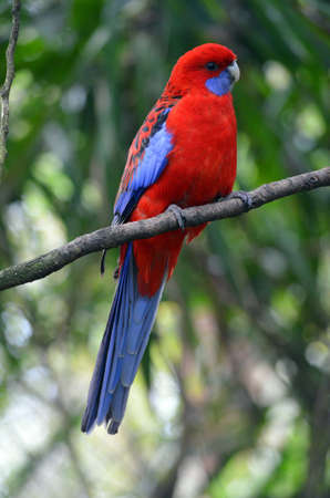 crimson rosella photo