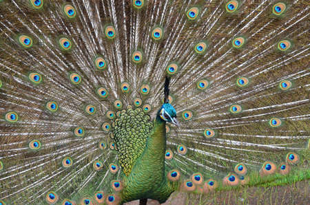 peahen: peacock displaying his feathers