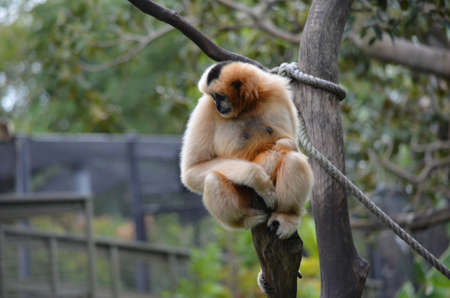 white faced gibbon with baby photo