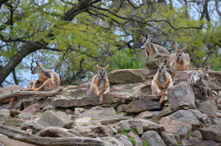a mob of yellow footed rock wallabies photo