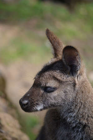 close up of a wallaby photo