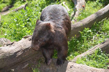 wombat: wombat