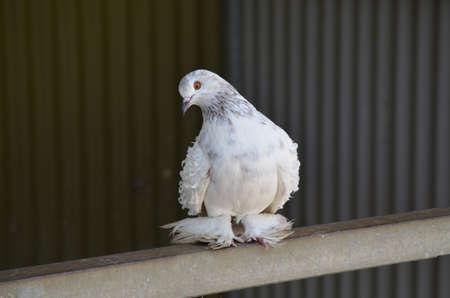 frill-back pigeon