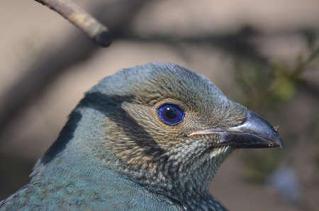 bower: satin bower bird Stock Photo