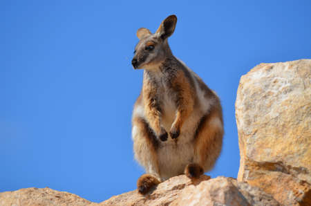 yellow tailed brush wallaby Stock Photo - 11072577