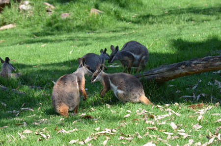 yellow tailed: mob of yellow tailed rock wallabies Stock Photo