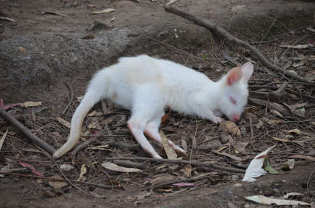 this albino wallaby is having a sleep photo