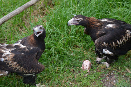 food fight: these 2 wedge tailed eagles are fighting over food Stock Photo