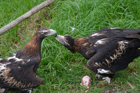2 wedge tailed eagles close to each other photo