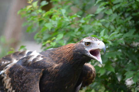 this Australian wedge tailed eagle is squaking photo